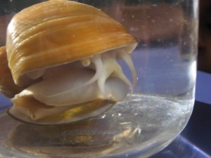 apple snails 003