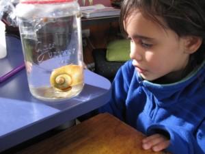 apple snails 005