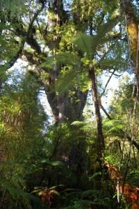A massive Kauri.