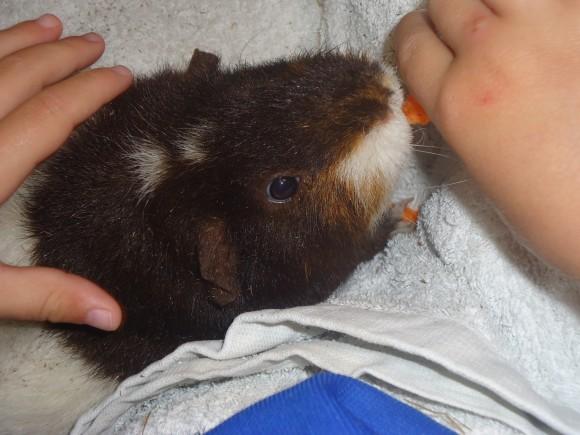guinea pigs 004